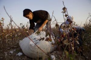 Bukhara, Uzbekistan, October 17, 2009 - Bobur, 13, picks cotton with other students in a field near Bukhara. (Photo / Nicole Hill).