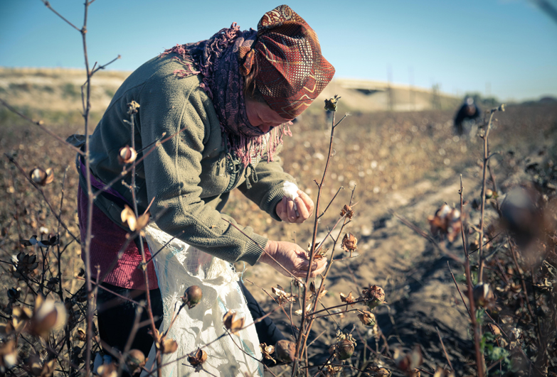 Forced labour. Old woman picking cotton in Uzbekistan
