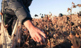 Image of cotton harvester in cotton fields