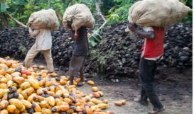 Men carrying cocoa pods. Slavery is common in cocoa supply chains