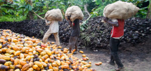 photo of workers on cocoa farm, world day for decent work