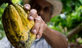 cocoa-picking-supply-chain