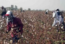 people picking cotton