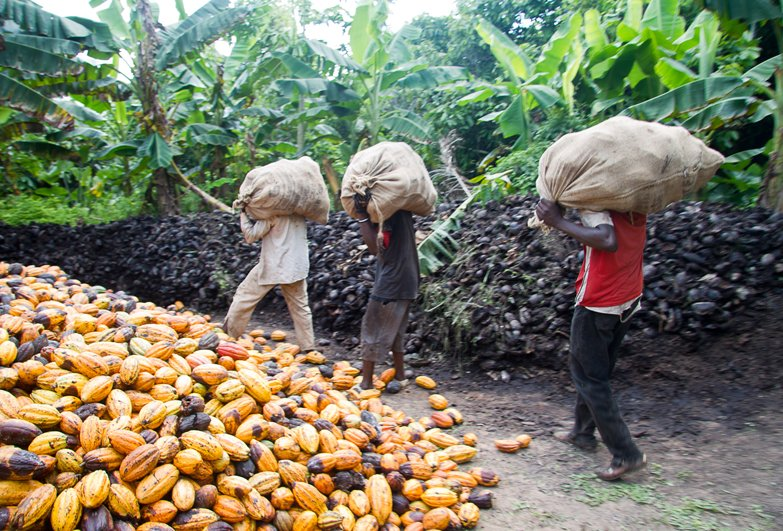 Men carrying heavy bags of cocoa pods