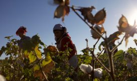 Woman picking cotton in field