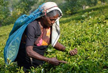 tea-picker-India