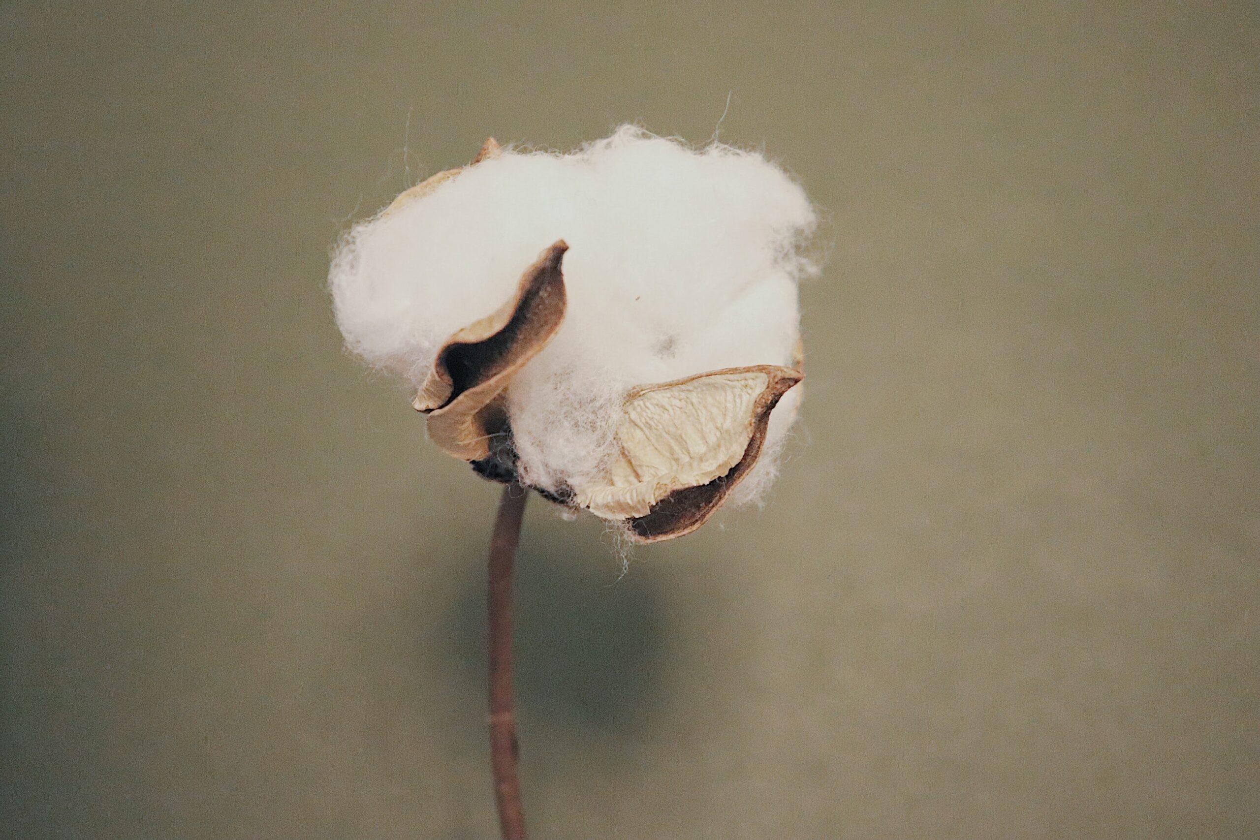 turkmenistan cotton harvest