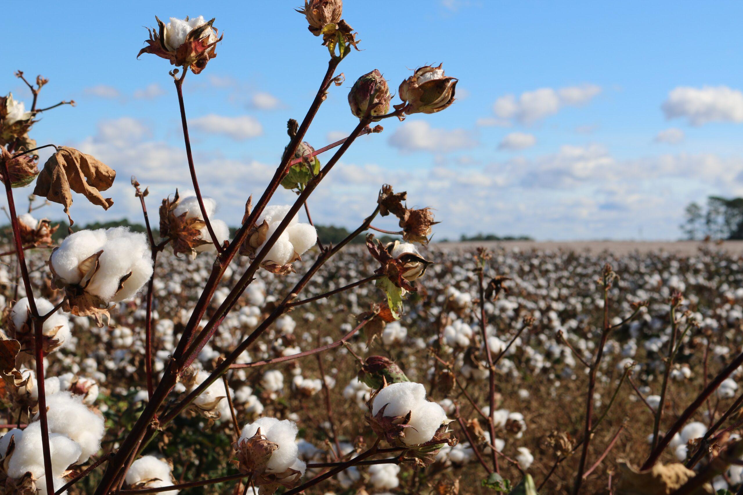 Cotton fields such as in the Uyghur Region